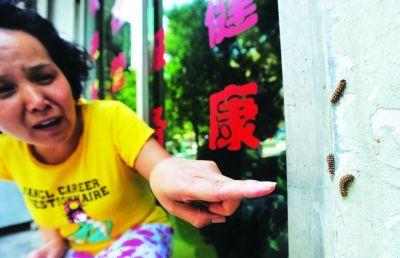 毛毛虫爬到路旁店铺墙壁上。记者李子云 摄