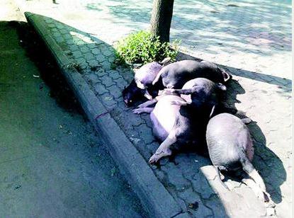 鄂州男子开车将五头死猪丢弃