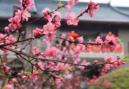 春色【桃】