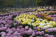 武汉植物园菊花展