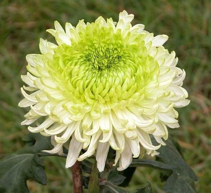绿牡丹:平瓣,属芍药花型。花径可达17cm,花期长达35天,是不可多得的绿色菊花代表品种。