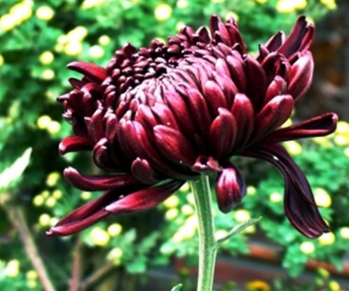 墨荷:菊花中的极品,平瓣内曲,属荷花型。花色紫中透墨,加以绿叶衬托,犹如墨色荷花亭亭站立。