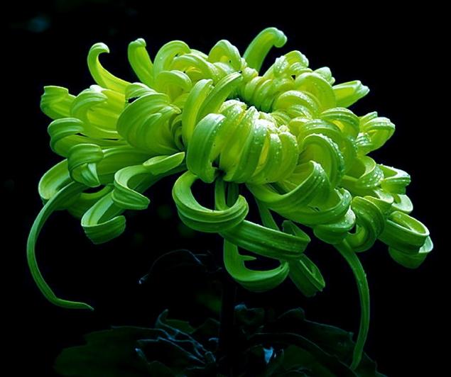 西湖柳月:花瓣为大匙粗管瓣。外部花瓣扭转稍下垂;中部花瓣旋转开放,内部花瓣正抱,微露花心,花色明快如皓月临水。