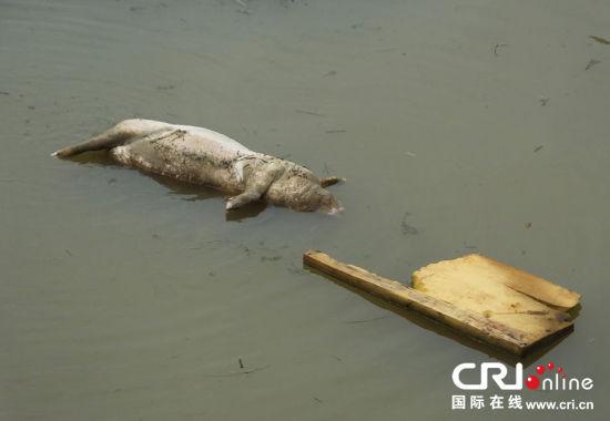 长江宜昌段水域再遭死猪入侵