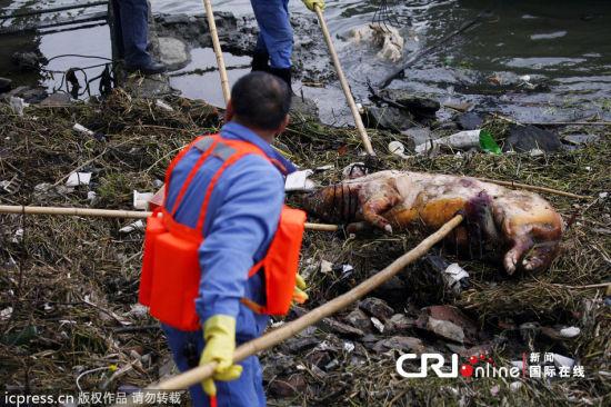 环卫工加紧打捞死猪。 图片来源:东方IC