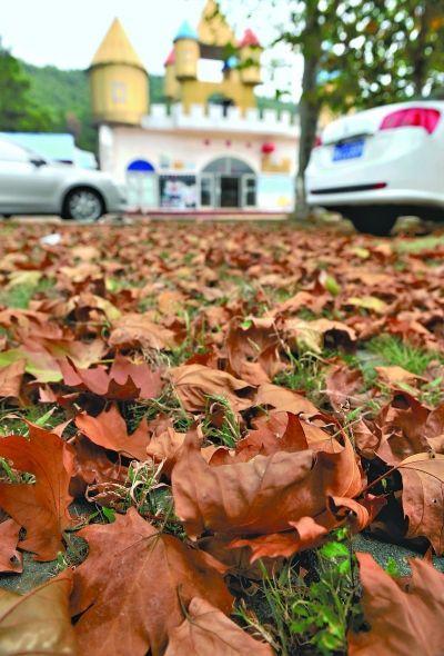 洪山区一公园附近,地面上铺满了法桐树黄色的落叶,如同到了秋季。