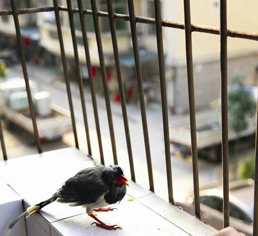 红嘴蓝鹊幼鸟