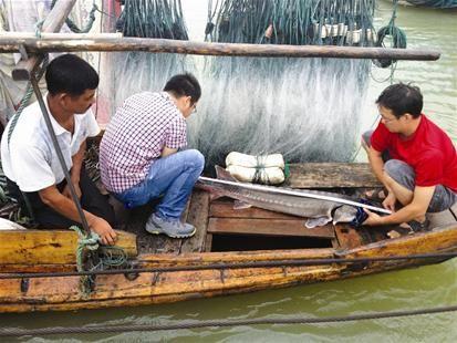 三峡晚报讯 8月30日,渔民刘明在长江意外地网起一条大约45斤的中华鲟。他赶紧送到宜昌市渔政处。最后将这条中华鲟放归长江。 记者张元媛 摄