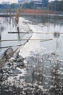 图为:府河大桥附近水域能看到大片死鱼