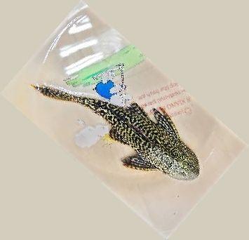 学名为清道夫的南美怪鱼。李伟供图