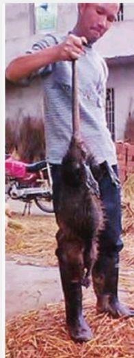 这只罕见的大老鼠,体长90厘米,重达5公斤。