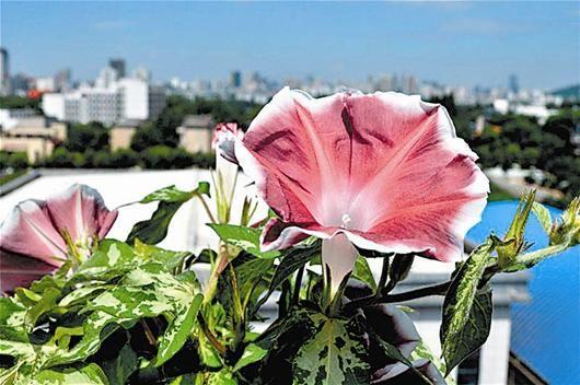 楚天都市报讯 图为:郑鹏宇种的牵牛花