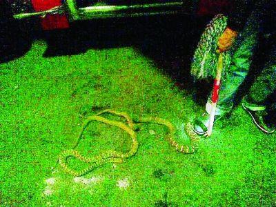 民警制服两条大蛇。通讯员张迪 摄