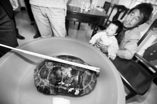 在阳逻发现的巨龟。本报记者 孙辰 摄