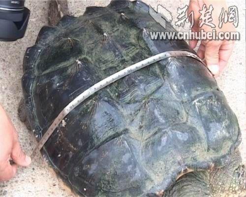 渔业专家测量:蛇鳄龟周长70厘米,宽40厘米,长35厘米。