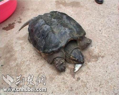 蛇鳄龟正在吃小鱼