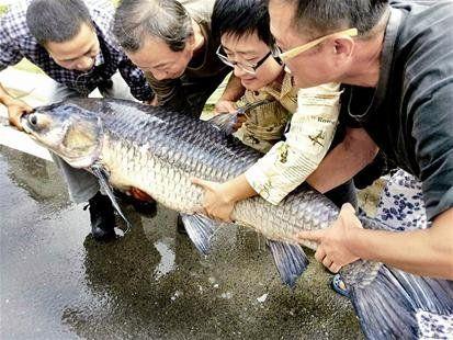 昨天,江夏钓友石先生钓起一条91斤重的大青鱼。
