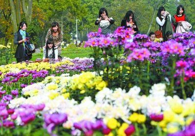 市民在欣赏菊花。记者熊波 摄