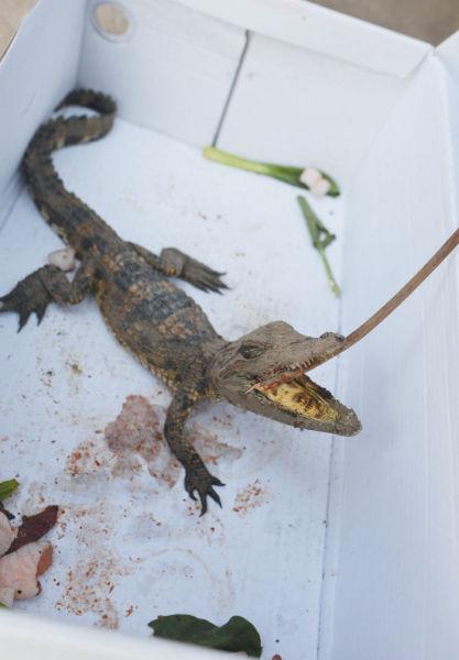 市民东方山下捡到小鳄鱼