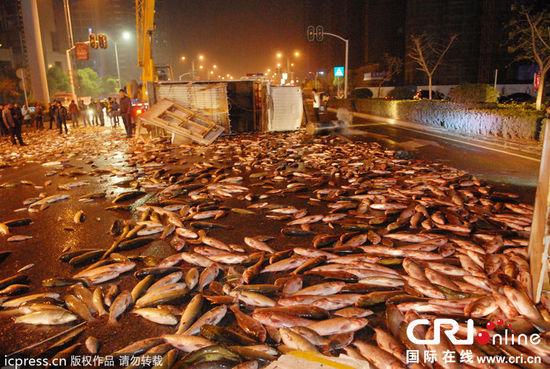 湖北宜昌一运鱼车侧翻,7000多斤鲜鱼洒满道路。