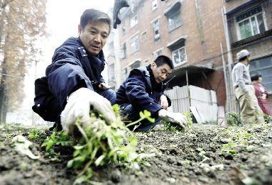 昨日,青山和畅社区,施庆(左)与刘军正在拔除居民种在绿化带的蔬菜。本报记者 傅坚 摄