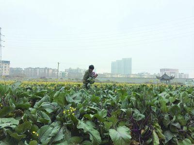 昨日,菜农正在地里摘菜薹 记者高宝燕 摄