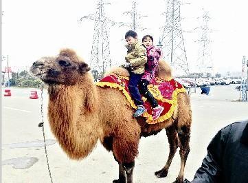 图为:孩子们骑在骆驼上拍照