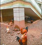东莞1600万元别墅成养鸡场