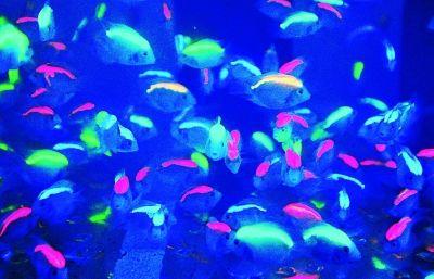 """▲汉产""""财神""""鱼性情更温和。"""