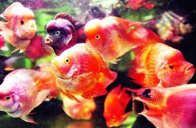 ▲多姿多彩的荧光鱼。