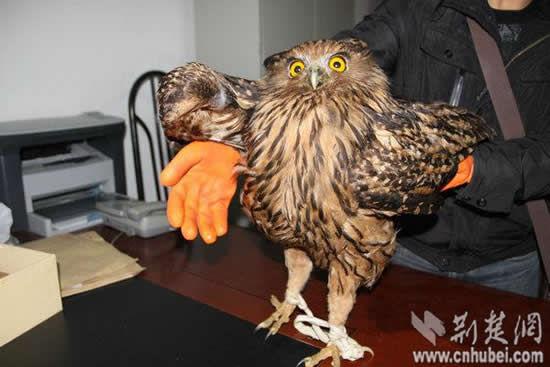 世界上最大的猫头鹰现身神农架 体长约70厘米(图)