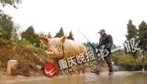 骑一段后蒋大爷要下来走一会,让猪也休息一下。