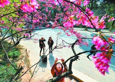 昨天天气好,不少迫不及待的市民进入武汉大学赏樱,但大多失望而回。有少量游客有幸在武汉大学医院附近寻访到云南早樱,争相拍摄弥补遗憾。武大后勤处的康强说,以现在的气温,预计稳定一周后,樱花才将陆续盛开,最佳花期应在月底。
