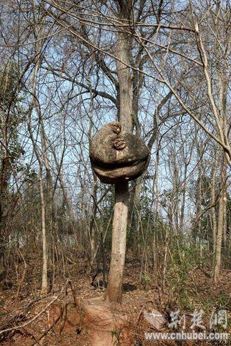 枸树长罕见大树瘤