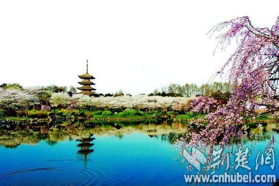 图为:东湖樱园内满树烂漫,如云似霞。(通讯员 王彬 摄)