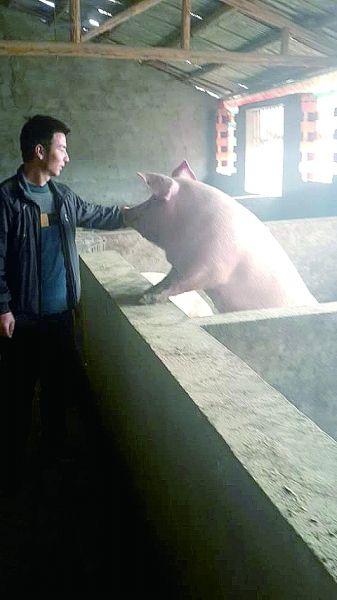 何勇涛跟他养的猪亲密接触。记者赵家新 摄