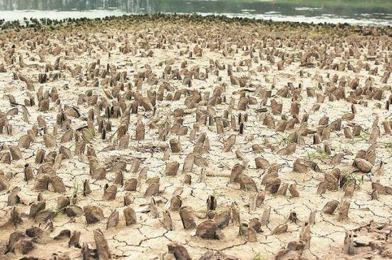 数以万计的蚶子半插在干涸的河床上