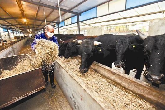 楚天快报讯 本报记者梅婷   图为:养殖人员正用精选专用饲料给牛喂食 记者韩旭摄