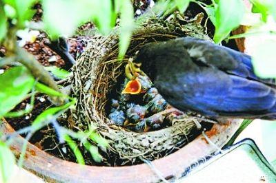 鸟夫妻窗台盆栽筑爱巢