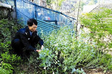 患病女子菜地种800株罂粟