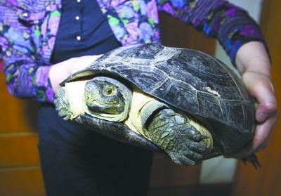 图为长约40厘米的大龟。