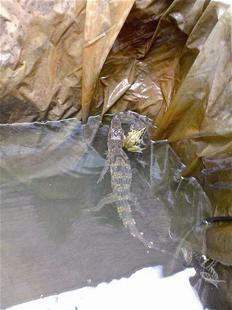 襄阳一女士家蓄水池内惊现鳄鱼