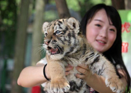 豹 豹子 壁纸 动物 虎 老虎 桌面 550_389