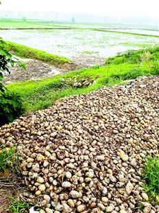 图为:土豆丰收却销不出去,被废弃在田边。