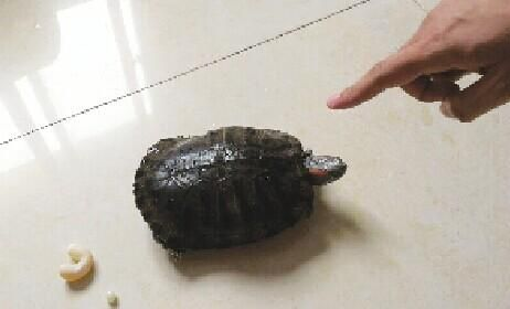 """乌龟产下罕见的""""U""""形蛋"""