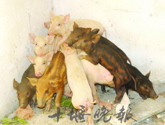 郧县一村民家母猪离家数月 领回13头野猪娃
