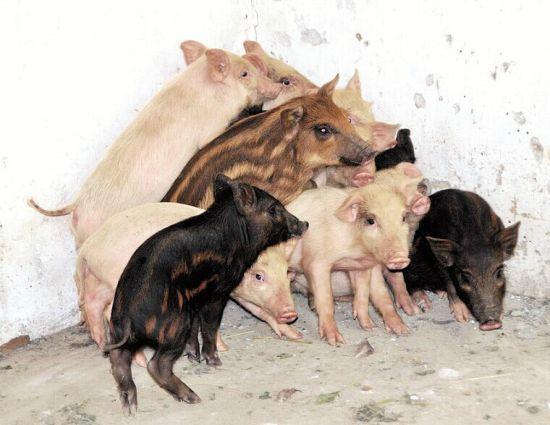 郧县村民家母猪逃进深山数月 领回13头小野猪
