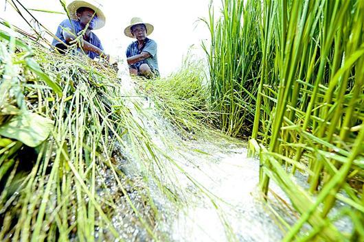 昨日,云梦县曾店镇大方村村民迫不及待地用刚刚打好的机井抽水浇灌水稻。