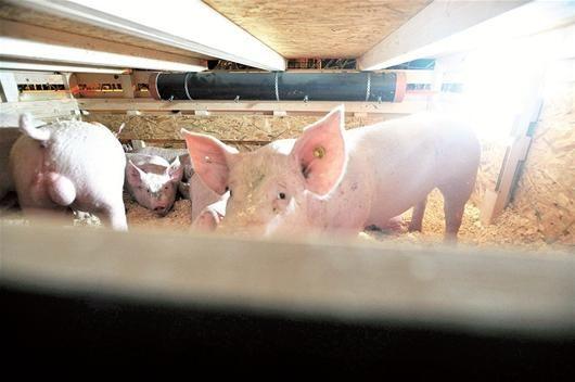 546头丹麦种猪打飞的到汉有大白种公猪等三品seo视频下载图片