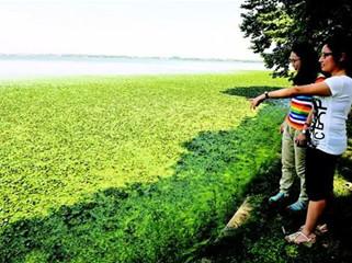 菱角铺满东湖水面